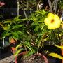 Allamanda cathartica –  Yellow Allamanda, Golden Trumpet (Allamanda cathartica –  Yellow Allamanda, Golden Trumpet)
