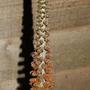 "Digitalis ""Milk Chocolate"" (Digitalis parviflora (Foxglove))"