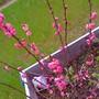 plum in planter