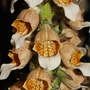 Digitalis lanata (Digitalis lanata (Grecian foxglove))