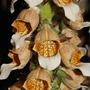 Digitalis lanata (Digitalis lanata (Grecian foxglove))