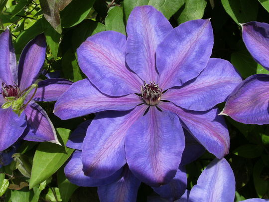Clematis ' Star of India '  (Clematis)