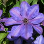 Clematis_star_of_india