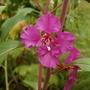 pink clarkia (Clarkia pulchella (Clarkia))