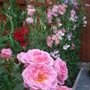 Roses and Sweet Peas