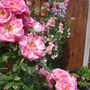Roses in the sun