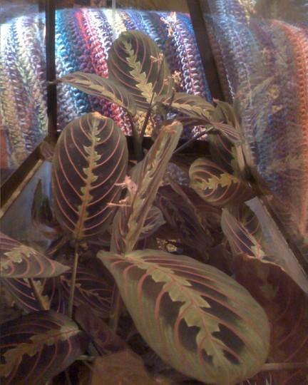 prayer plant (Maranta leucoreura erythrophylla)