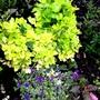 Celery (Apium graveolens (Celery))