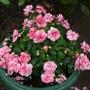 Impatiens, Busy Lizzie 'Pink ruffles' (Impatiens busy lizzie pink ruffles)
