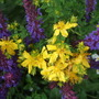 Purple and Gold (Hypericum cerastioides)