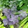 Sedum    Purple Emperor