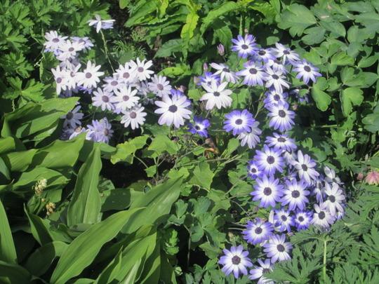 sunseneraibu lavender and sunseribuba blue bicolour