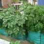 3 bags of early potatoes