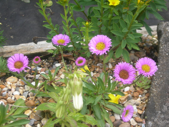 Erigeron 'Four Winds' (Erigeron 'Four Winds')