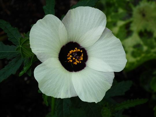 Hibiscus trionum (Hibiscus trionum)