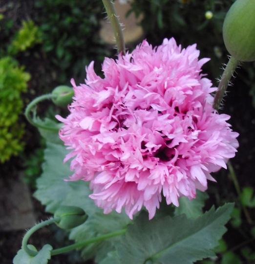 Pink Frilly Poppy