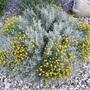 Cotton Lavender  (Santolina chamaecyparissus) (Santolina chamaecyparissus (Cotton lavender))