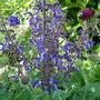 Salvia 'Forsskaolii' (wood sage) (Salvia forsskaolii)