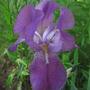 Bearded Iris...