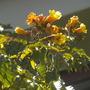 Markhamia lutea- Markhamia, Nile Tulip Tree  (Markhamia lutea- Markhamia, Nile Tulip Tree)