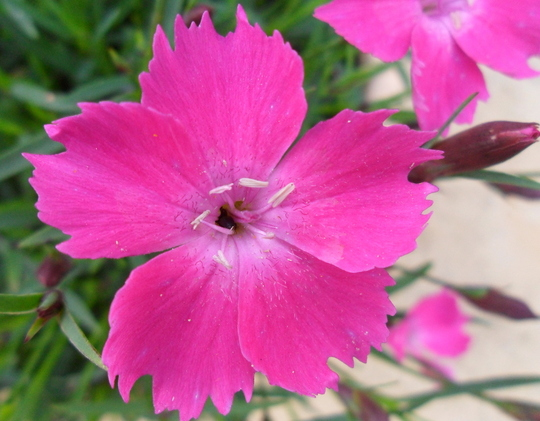 Fiori Kaori.Dianthus Kahori Grows On You