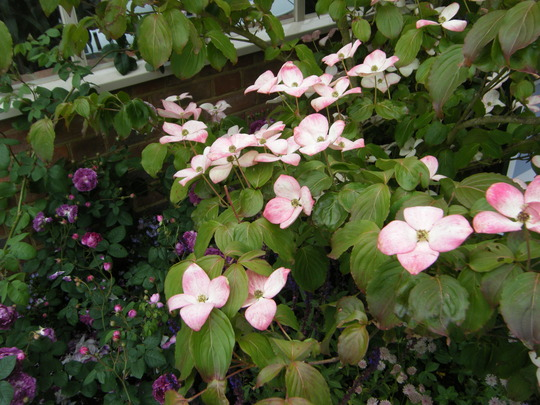 Pink tinged Cornus..Chelsea flower show 2011