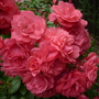 004 Rosa 'Wiltshire' ground cover rose