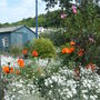 Poppies in Laxey..., Isle of man