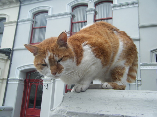 A friendly manx cat, Isle of man