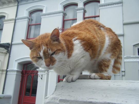 A friendly manx cat, Isle of man