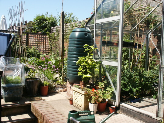 Part of veggie plot, with greenhouse full of tomato plants.