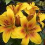 Bright orange Lilly