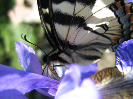 Sipping daintily...tiger swallowtail enjoying the irises