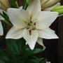 Lily 'Eyeliner'