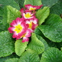 Primula...just come into flower!
