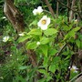 Mock Orange