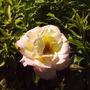 Pink_rose_on_arbor