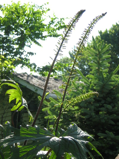 Ligularia...Goldenray...  (Ligularia przewalskii)