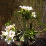 Adenium obesum - White Desert Rose