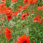 Corn Poppies  (from blog) (Papaver rhoeas (Corn poppy))