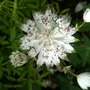 Astrantia_snow_star