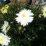 Leucanthemum x superbum Wirral Supreme Front Garden (Leucanthemum x superbum 'Wirral Supreme')