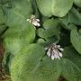 Hosta Bressingham Blue flowering  (Hosta Bressingham Blue)