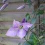 Clematis viticella 'Betty Corning' (Clematis Vitcella)