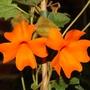 Thunbergia gregorii (Thunbergia gregorii)