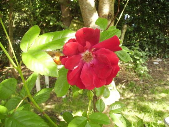 Semi-double Red Rose 06.08 (Rosa gallica)
