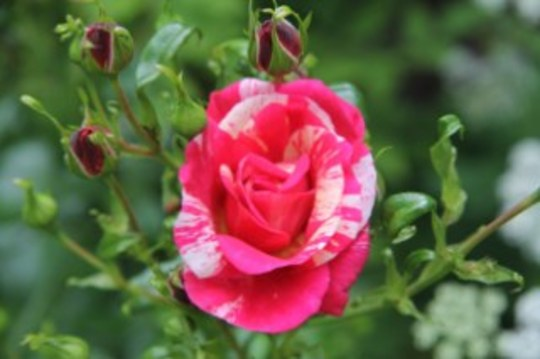 rosa ferninand prichard (Rosa 'Ferdinand Pichard)