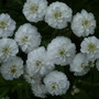 Achillea_the_peal_