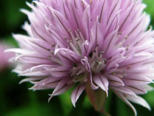 chives (Allium schoenoprasum)