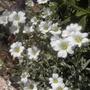 Snow in Summer (cerastium tomentosum)